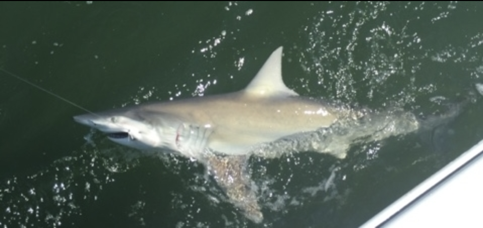 fishing-charter-sc-shark-fishing